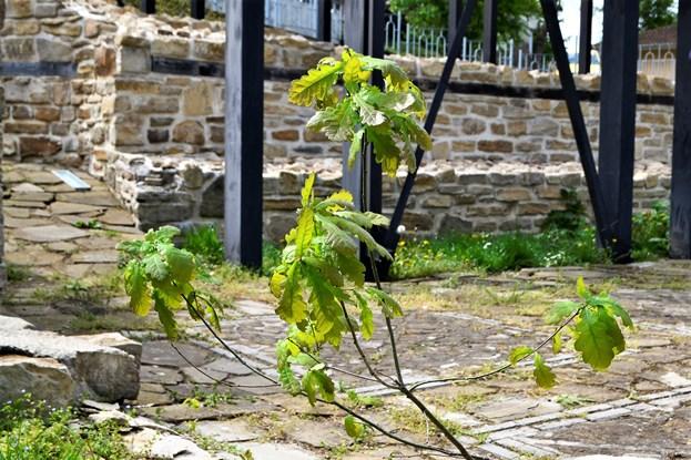 Светият път, фиданка най-старото българско дърво