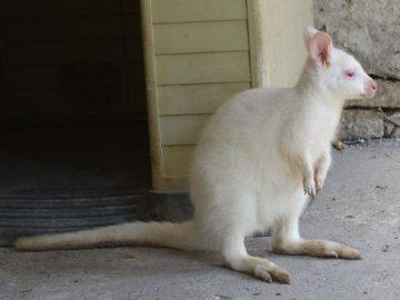 кенгуру албинос зоокът Павликени